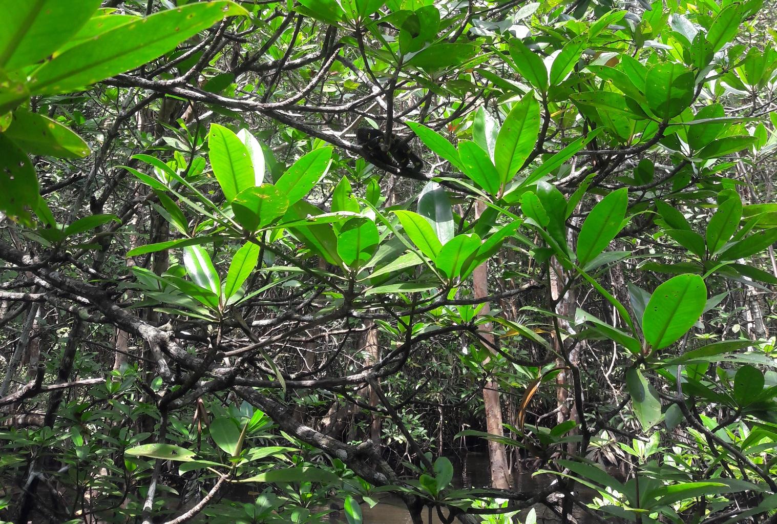 Flora Fauna Mangrove Bintan